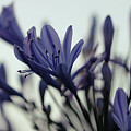 Agapanthus - Love Flower -2  by Carolyn Parker