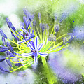 Agapanthus Perfection by Kay Brewer