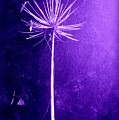 Agapanthus Purple Glory by VIVA Anderson