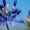 Agapanthus by Robert Potts