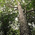 Agathis Borneensis Tree by Fletcher & Baylis