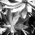 Agave Attenuata by Edgar Laureano