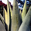 Agave by Heather S Huston