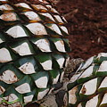Agave Pineapples by Juan Gnecco