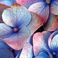 Ageing Hydrangea by Gaspar Avila