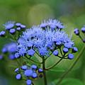 Ageratum Blue by Debbie Oppermann