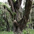Aging Oak Tree by Carol  Bradley