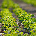 Agriculture- Soybeans 1 by Karen Wagner