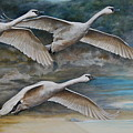Ahead Of The Storm - Trumpeter Swans On The Move by Dreyer Wildlife Print Collections