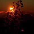 Ahinahina - Silversword - Argyroxiphium Sandwicense - Sunrise by Sharon Mau