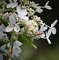 Ailanthus Webworm Moth 1 by Teresa Mucha