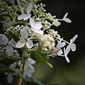 Ailanthus Webworm Moth 2 by Teresa Mucha