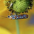 Ailanthus Webworm Moth #6 by Karen Adams