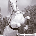 Airs Above The Ground - Lipizzan Stallion Rearing by Mitch Spence