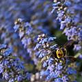 Ajuga And Bumblebee by Douglas Barnett