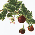 Akala Berries by Hawaiian Legacy Archive - Printscapes
