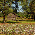 Alabama Cotton Field by Mountain Dreams