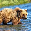 Alaska Bear by Mike Centioli