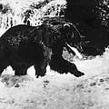 Alaska: Brown Bear by Granger