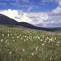 Alaska Cotton Eriophorum Scheuchzeri by Rich Reid