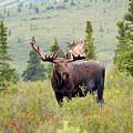 Alaska Monarch #3 by Teresa A and Preston S Cole Photography