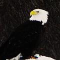Alaskan Bald Eagle by Lori Mahaffey