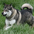 Alaskan Malamute 2 by David Dunham