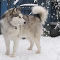 Alaskan Malamute In Snow 2 by Roy Scorer