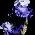 Alaskan Seas Iris  by John Trax