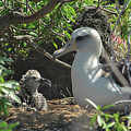 Albatross Mom And Baby by Megan Martens