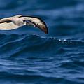 Albatross Of The Deep Blue by Basie Van Zyl