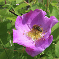 Alberta Wild Rose And Bee by Jack Dagley