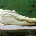 Albino Alligator by Denise Keegan Frawley