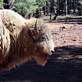 White Bison by Robert Smitherman