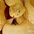 Albino Brazilian Rattlesnake by Dant� Fenolio