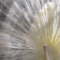 A Leucistic Peacock by Lori Pessin Lafargue