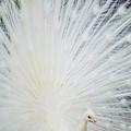 Albino Peacock by Rita Ariyoshi - Printscapes