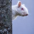 Albino Squirrel by Rikk Flohr