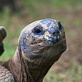 Aldabra Giant Tortoise's Portrait by Selena Wagner