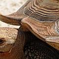 Aldabra Tortoise by Debbie Oppermann