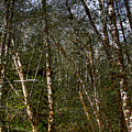 Alders At Camp 18 by David Patterson