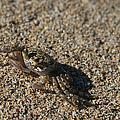 Ale Eke Ohiki Kuau Sand Crab by Sharon Mau