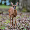 Alert Fawn Deer In Shiloh National Military Park Tennessee by WildBird Photographs
