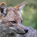 Alert Fox  by Don Henderson