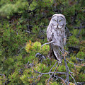 Alert Great Gray Owl by Max Waugh