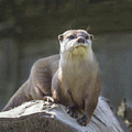 Alert Otter Amblonyx Cinerea by Liz Leyden