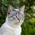 Alert Tabby With Blue Eyes by Mikehoward Photography