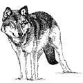 Alert Wolf by David Kleinsasser