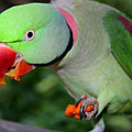Alexandrine Parrot Feeding by Ralph A  Ledergerber-Photography