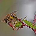 Alfalfa Bee by Gary Wing